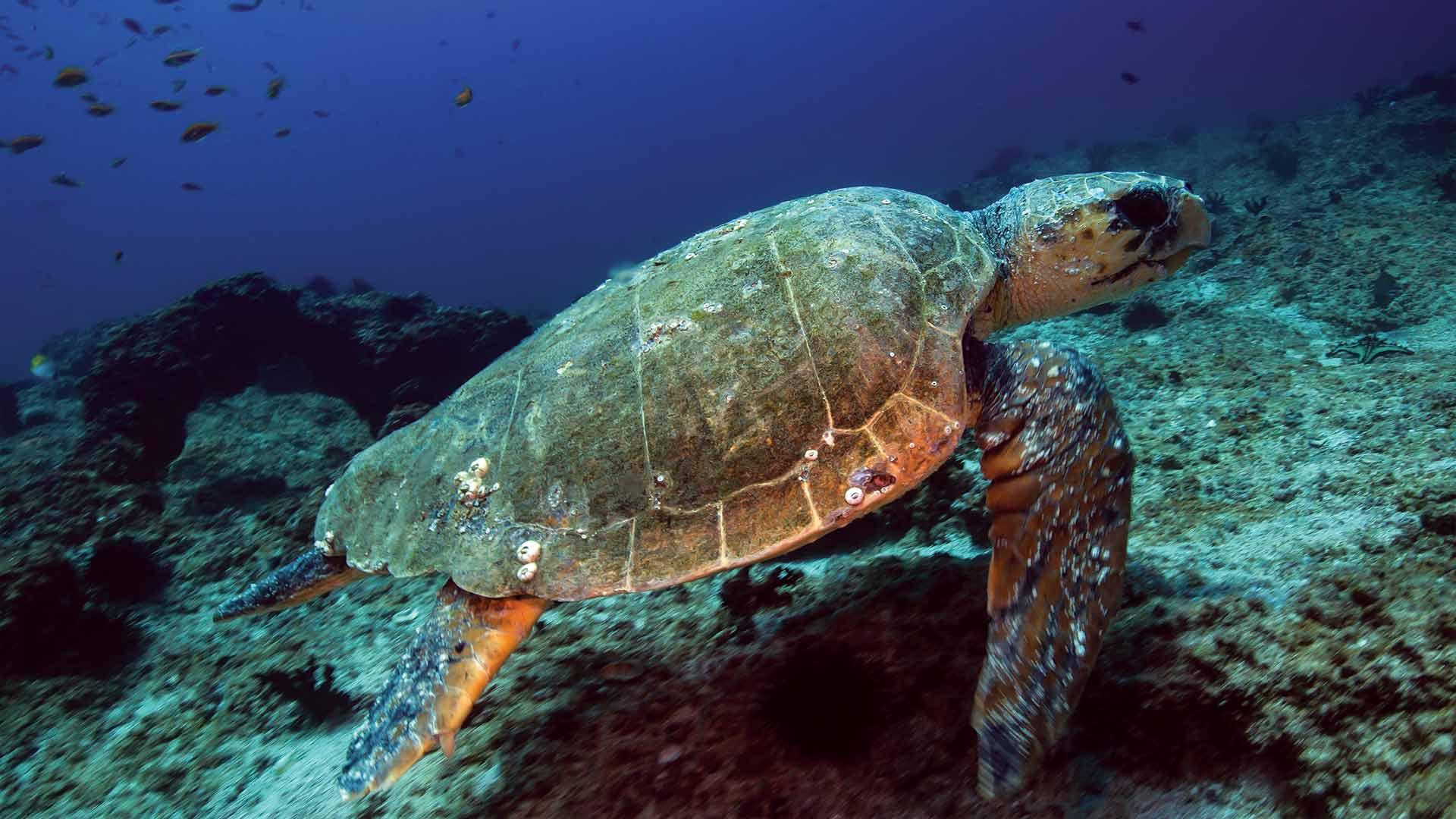 YGo-Hawkbill-Turle-Snorkel-Dive