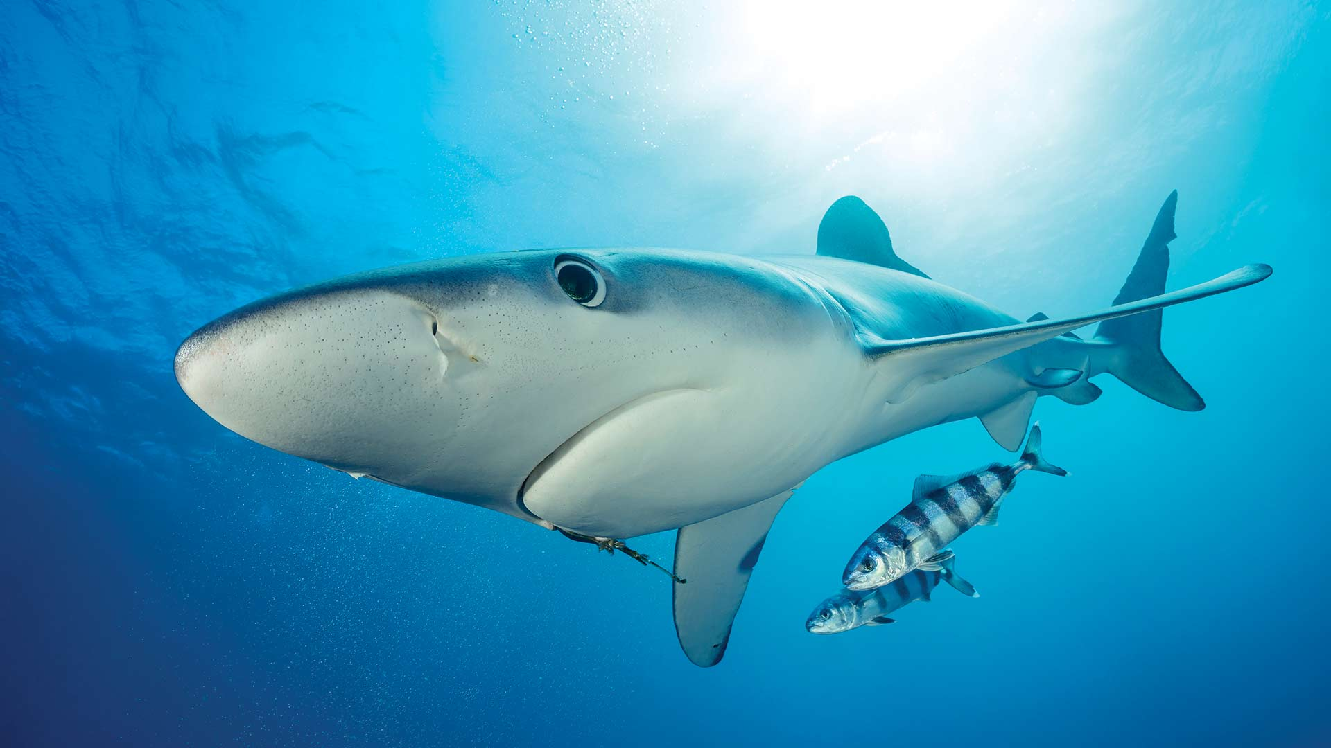 YGo-Mako-Shark-Diving